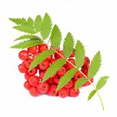 Red Rowan (Mountain-Ash) Berries With Leaves Isolated On White Background
