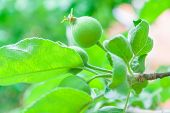 picture of ovary  - Tender new leaves and green ovaries apples on a branch of a spring day - JPG