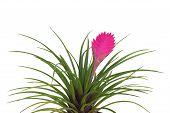 stock photo of tillandsia  - tillandsia flower isolated on white background - JPG