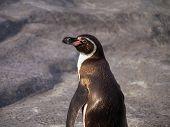 Turn around Humboldt penguin