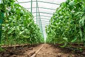 pic of photosynthesis  - Row of tomato plants in greenhouse - JPG