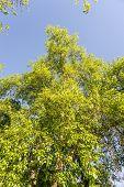 Poplar And Sky
