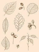 stock photo of elm  - Set of vector vintage hand drawn autumn leaves - JPG