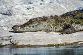 picture of crocodilian  - A crocodile basking on some river rocks - JPG