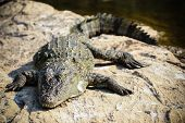 stock photo of crocodilian  - A crocodile basking on some river rocks - JPG