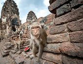 Lopburi Thailand. Monkey ( Crab-eating or Long-tailed macaque ) in Prang Sam Yot temple. Khmer ancie