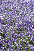 Horned violet flowers in spring as background