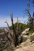 Detail, Juniper Snag, On The South Rim
