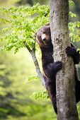picture of bye  - Brown bear  - JPG