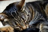 Egyptian Mau cat - sleeping