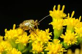 Stink Bug On Goldenrod Flowers