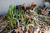 Hosta Sprouts In Early Spring