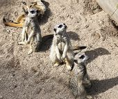 Meerkat (suricata Suricatta). Live In Savannah And Desert Areas Of Angola, Southern Botswana, Namibi
