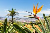 Strelitzia In Botanical Garden Of Funchal At Madeira Island