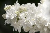 White Lilac Branch On Dark Background Closeup