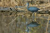 A Western Reef Heron With Foot Raised Reflected In Shallow Water