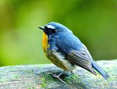 Snowy-browed Flycatcher (ficedula Hyperythra) Cute Blue Bird