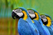 Three Blue And Yellow Macaw Standing In A Row With Nice Compose And Details, Macaw Bird