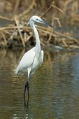 A White Western Reef Heron (egretta Gularis) Standing Up Straight In The Mangroves