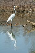 Great White Egret (egretta Alba) Wading With Reflection