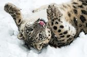 foto of snow-leopard  - Playful Snow Leopard rolling in snow and sticking out tongue
