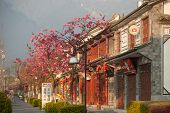 Cherry Blossoms Front The Old Town In Dali City,china.
