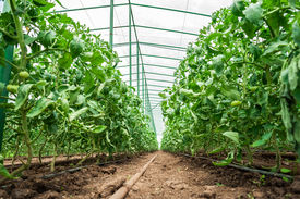 stock photo of photosynthesis  - Row of tomato plants in greenhouse - JPG