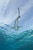Below View Of A Shark