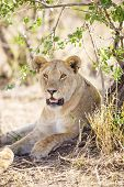 African lioness rests in the shadow