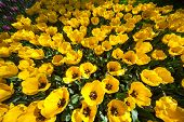 Yellow Tulips, Keukenhof, The Netherlands