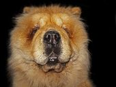 stock photo of chow  - Chow - JPG