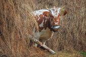 funny cow in hay closeup