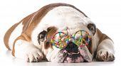 dog wearing peace glasses on white background - english bulldog
