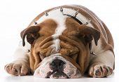 english bulldog puppy wearing spike collar on white background