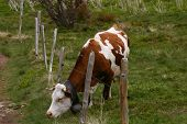 Grazing Cow With A Fence