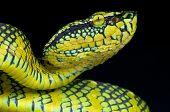 Tree viper / Tropidolaemus wagleri