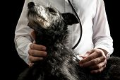 image of vet  - Vet examining a dog with a stethoscope listening to its heartbeat and lungs closeup of the dogs head and disk of the stethoscope - JPG