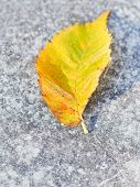 Frosts And Fallen Birch Leaf On Pavement
