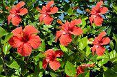 Rose of China Latin name Hibiscus rosa-sinensis