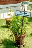 picture of zingiber  - Ginger plant with name tag in a clay pot in an Ayurvedic herb garden - JPG