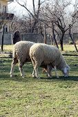 image of sheep  - Two sheep grazing on the field - JPG