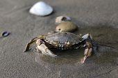 image of exoskeleton  - Sea crab on sand on a beach - JPG
