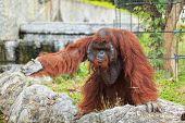 pic of orangutan  - A mammal Orangutan raise one is hand - JPG