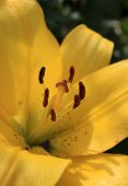 stock photo of stamen  - Inside a yellow lily - JPG