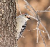 picture of woodpecker  - Female Red - JPG