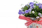 pic of flower pots  - blue campanula flowers in flower pot on white - JPG