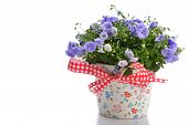 foto of flower pots  - blue campanula flowers in flower pot on white - JPG