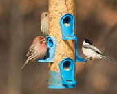 picture of chickadee  - Male House Finch at feeder - JPG