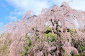 stock photo of weeping  - Weeping Cherry tree  - JPG