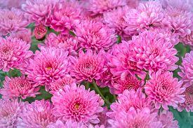 picture of feverfew  - Chrysanthemum  - JPG